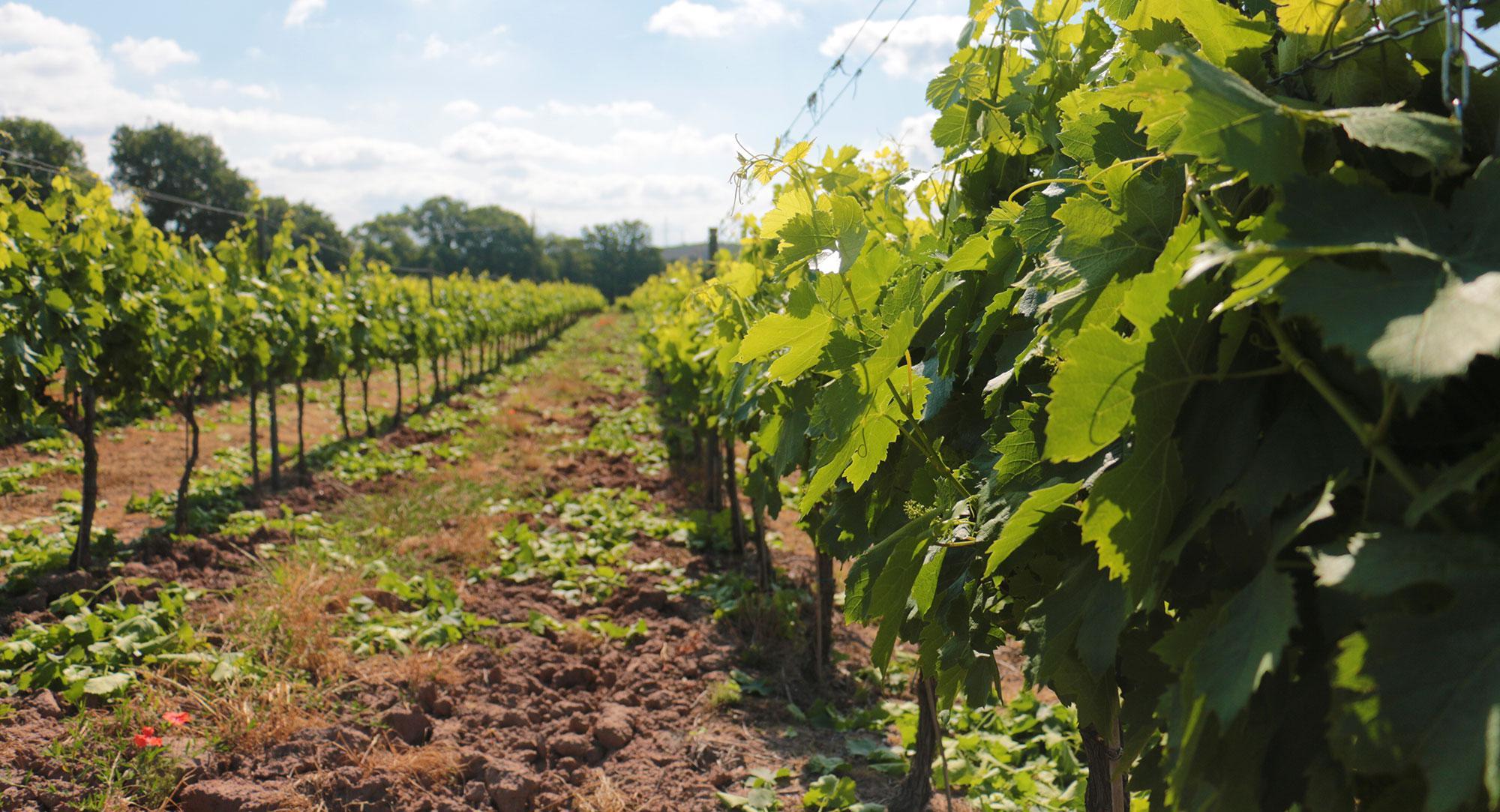 vignoble-la-maurette-6-crop2